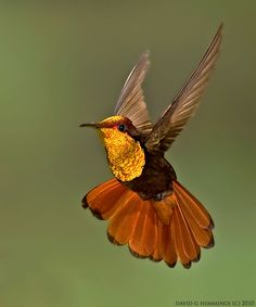 he Ruby-topaz Hummingbird (Chrysolampis mosquitus), commonly referred to simply as the Ruby Topaz, is a small bird that breeds in the Lesser Antilles and tropical northern South America from Colombia, Venezuela and the Guyanas, south to central Brazil and northern Bolivia; also from Colombia into southern Panama./david g hemmings