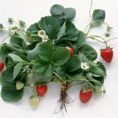 How to Tell If You Have June-Bearing Strawberry Plants or Everbearing Strawberry Plants