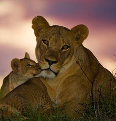 Great Safaris - South Africa: The Kruger is home to a Lion King–style menagerie of animals, including all of the Big Five. Animals And Pets, Baby Animals, Cute Animals, Wild Animals, Beautiful Cats, Animals Beautiful, Lioness And Cubs, Vida Animal, Gato Grande