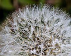 frosty dandelion