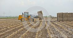 Cotton harvesting. Agricultural field works in autumn. Tractor at work