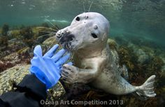 This grey seal was timid at first, but couldn't resist playing with the diver's drysuit glove. The moment was captured in the waters off of Norway. BY LILL HAUGEN, OCEAN ART COMPETITION 2013 Discovery News, Art Competitions, Ocean Art, Animals Of The World, Under The Sea, Polar Bear, Yorkie, Cool Photos, Pup