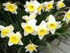 Daffodil Chuckle Patch