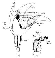 diagram of an orchid flower - Google Search Orchids, Diagram, Google Search, Flowers, Art, Art Background, Kunst, Performing Arts, Royal Icing Flowers