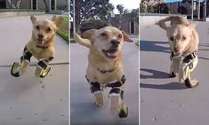 Disabled dog gets prosthetic legs, runs for the first time