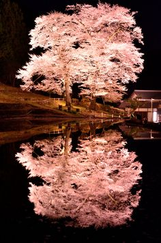 Cherry Blossom Tree - (Gifu, Japan)