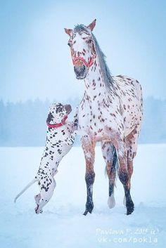 Seeing spots - leopard Appaloosa and Dalmatian © Pavlova P. Horses And Dogs, Cute Horses, Pretty Horses, Horse Love, Wild Horses, Cute Funny Animals, Cute Baby Animals, Animals And Pets, Horse Photos