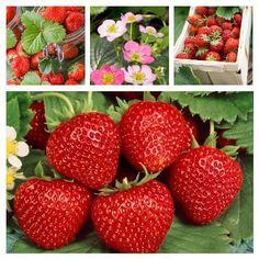 Ako pestovať jahody Strawberry, Fruit, Food, Compost, Essen, Strawberry Fruit, Meals, Strawberries, Yemek