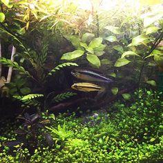 【kurumiaji】さんのInstagramをピンしています。 《・ ・ もっさもさ。 ・ ・ ・ ・ ・ ・ ・ #水草水槽 #アクアリウム #30cmキューブ水槽 #アピスト #アピストグラマ #アピストグラマアガシジィ #小型水槽》