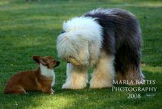 No, no, no little Corgi. I am a sheep DOG.