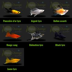 Variétés de Molly http://www.aquachange.fr/Boutique/poissons-aquarium/15-molly-poecilia-sphenops.html