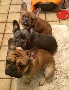 'Stack-a-Bullies', French Bulldogs                              …