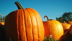 Reţete cu dovleac Pumpkin, Vegetables, Food, Buttercup Squash, Meal, Pumpkins, Essen, Vegetable Recipes, Hoods