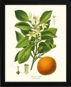 Sweet Orange -Citrus Aurantium Fruit Illustration. Framed Giclee Art Print, $89.95