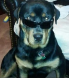 My rottie is cooler than yours :)