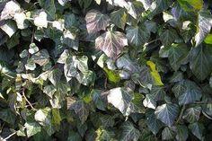 Krzewy zimozielone - podstawowa wiedza o ich uprawie Buxus, Toyota, Plants, Plant, Planets