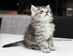 Gattino siberiano - nato nell'allevamento Siberiani di Grande Inverno Grande, Cats, Animals, Winter Time, Kittens, Gatos, Animales, Animaux, Animal