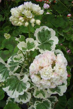 Westdale AppleBlossom More