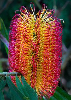 When people say Australian native flowers are drab lol ✯ Banksia Seminuda Unusual Flowers, Unusual Plants, Rare Flowers, Rare Plants, Exotic Plants, Amazing Flowers, Australian Wildflowers, Australian Native Flowers, Australian Plants