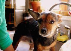 Frottez le chien avec du marc de café pour tuer les puces