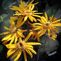image de Ligularia dentata Britt-Mary Crawford Detaille, Quebec, Photos, Dimensions, Mary, Index Cards, Flowers, Plants, Pictures