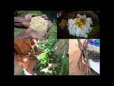 Medicinal Rice B4 Formulations for Dry Tongue: Pankaj Oudhia's Medicinal...