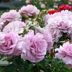 Today's rose is Love Song™, a romantic melody of lavender fills the garden with notes of citrus. Beautiful Roses, Pretty Flowers, Beautiful Gardens, Beautiful Things, Flower Images, Flower Photos, Floribunda Roses, Roses Only, Heirloom Roses