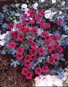GERANIUM CRANESBILL 'PURPLE PILLOW'  This shorter, compact Geranium produces enormous amounts of red-purple flowers with dark veins throughout. Blooms earlier than most. Thrives in partial shade. Attracts butterflies.