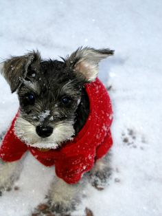 Schnauzer puppy is racing through the snow to get back home, where everything is warm and dry and the humans give him belly rubs.