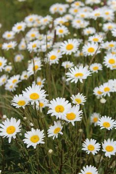 Fields of flowers Beautiful Roses, Fields, Nature Photography, Daisy, Flowers, Plants, Margarita Flower, Flora, Bellis Perennis