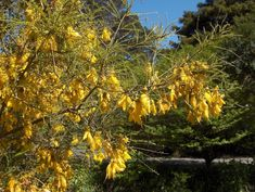 By Wally Richards New Zealand has a vast array of native plants which many New Zealand gardeners sometimes take for granted, as they are very common in their homeland. Overseas, many of our indigen… Small Front Gardens, Back Gardens, Rose Trellis, Taken For Granted, Trees And Shrubs, Drought Tolerant, Summer Flowers, Clematis, Native Plants