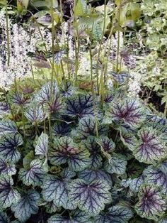 Heuchera Green Spice. A shade loving plant which can tolerate dry and some moisture. The leaves are evergreen, therefore show colour in the shade all year around.