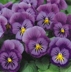 Pansy - Viola x wittrockiana hybrids.  These popular bedding plants come in a staggering range of bright or pastel shades; including pink, blue, yellow, gold, orange, purple, violet, red, russet, white and even black. They are available in clear single shades as well as bi-colours. Many are painted with black blotches around a yellow eye, with lines radiating from the centre, like cat's whiskers. The flowers range in size from small to enormous, with petals that are soft and velvety.