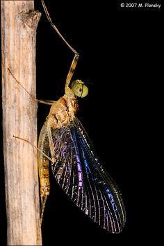 water to air baby dragonflies 2014 science olympiad entomology pinterest dragonfly. Black Bedroom Furniture Sets. Home Design Ideas