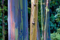 Rainbow Eucalyptus deglupta, 30 rare seeds in Claremont, California ~ Krrb Classifieds L Eucalyptus, Eucalyptus Species, Rainbow Eucalyptus Tree, Flora, Rare Birds, Colorful Trees, Unique Trees, All Nature, Gardens