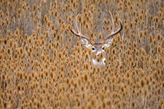 Whitetail buck during autumn rut in Montana hiding in teasel patch by D. Robert Franz on 500px