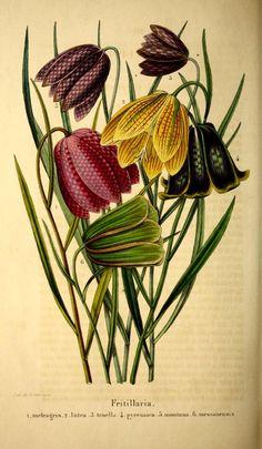 Belgique horticole.  Morren, Charles, 1807-1858  Morren, Edouard, 1833-1886