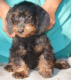 21 Unreal Poodle Cross Breeds You Have To See To Believe Dapple Dachshund, Dachshund Mix, Poodle Mix Puppies, Cute Puppies, Morkie Puppies, Saint Bernard Poodle, Poodle Cross Breeds, Baby Animals, Cute Animals