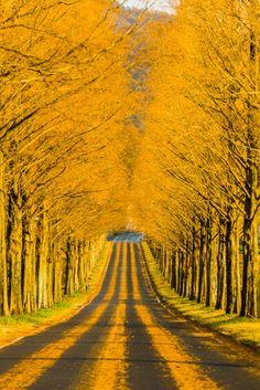 lifeisverybeautiful:  via Through the golden road by Takahiro Bessho / 500pxAutumn Leaves, Beautiful Tree Tunnel