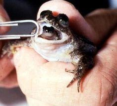 Rheobatrachus silus    O método de reprodução da espécie é realmente extraordinário. A fêmea engole seus ovos fertilizados para protegê-los. Os girinos crescem em seu estômago durante as primeiras seis semanas, depois, ela os expele, como se dêsse a luz pela boca.No único caso que foi registado, 22 juvenis nasceram da boca de uma única fêmea.    Considerada EXTINTA, e que foi avistada pela  última vez em 1985.
