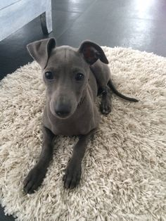 Love My puppy italian greyhound soooooo much ❤️