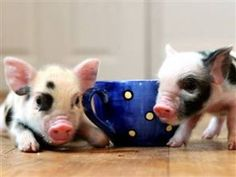 I love these adorable teacup pigs. They are only this small as babies though...