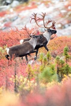 Caribou and the Autumn Tundra : Adam Hill ""