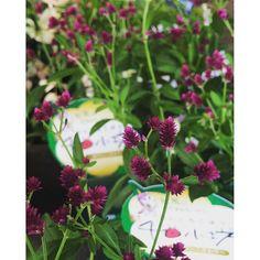 【veggieplus】さんのInstagramをピンしています。 《『千日小坊』多年草の秋咲き品種です。一年草の千日紅と呼び名が似てますが、別種です( ̄ー ̄)#大阪#天王寺#グリーン#観葉植物#veggie+#ベジープラス#veggie plus#多肉植物#サボテン#鉢#ハーブ#緑#水耕栽培器#園芸雑貨#エアープランツ#プリザーブドフラワー#テラリウム#鉢花#食虫植物#千日小坊》