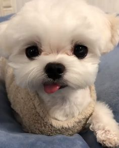 Cute Baby Dogs, Cute Small Dogs, Sweet Dogs, Cute Little Puppies, Cute Dogs And Puppies, Doggies, Super Cute Animals, Cute Little Animals, Cute Funny Animals