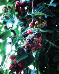 いいね!2,517件、コメント84件 ― Mai Yanagisawaさん(@toile_blanche)のInstagramアカウント: 「It is almost time for the blackberry in the garden to be harvested ✨🍃🙊 ✴︎ ブラックベリーが色づきはじめました🌿」