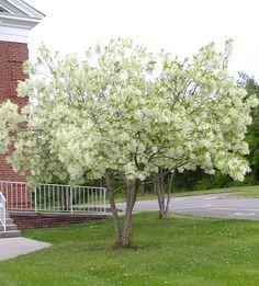 Flowering Trees Flowering Trees Iowa Arboretum Fast