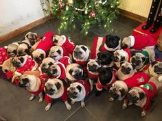 Pugs are. Please Santa.I want a black pug puppy. Please Santa.I want a black pug puppy. Black Pug Puppies, Cute Puppies, Cute Dogs, Bulldog Puppies, Terrier Puppies, Boston Terrier, Lab Puppies, Cute Baby Animals, Funny Animals