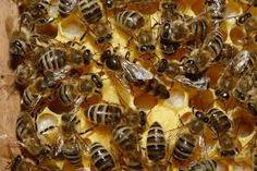#Apicultura Desarrollan #antiparasitario #natural para las #abejas http://aga.cat/index.php/ca/articles/darreres-noticies/572-desenvolupen-antiparasitari-natural-per-a-les-abelles #insectos #parásitos