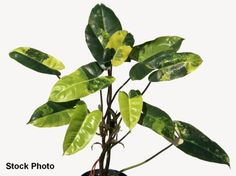 Philodendron-Burle-Marx-variegated-aroid